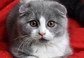 宠物小课堂——苏格兰折耳猫