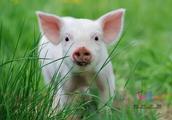 三全水饺检出非洲猪瘟病毒!对人影响有多大?最全科普来了