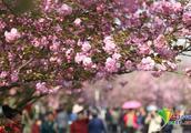 我与成都青白江樱花的这十年