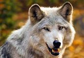 纯种藏獒能敌得过灰狼吗,是途说吗,还是确有其事