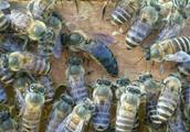 中华蜜蜂——蜂王