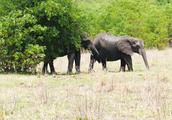 非洲国家公园里,大象和象宝宝上演了温馨的一幕