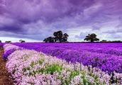 法国之所以浪漫,因有普罗旺斯,普罗旺斯所以美,因有这个草