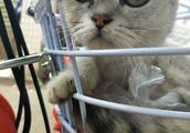 小区楼顶捡到一只流浪猫,第二天认出是折耳银渐层,女子快要美翻