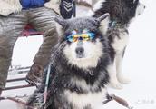 深究:为什么喜欢阿拉斯加雪橇犬的人那么多?