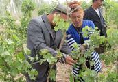 葡萄树怎么修剪?几个步骤告诉大家,保证挂果率大幅度提高