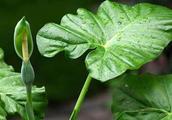 滴水观音怎么种,教你几个种植小技巧!