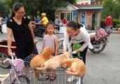 金毛幼犬主人带出来当街售卖,价钱低廉可路人纷纷看完之后就走!