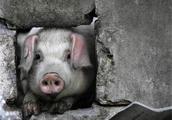 """汶川地震中被埋了36天的""""猪坚强"""",现在过得怎么样了?"""