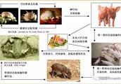 「非洲猪瘟」紧急防控专题!必须要知道的防控措施!
