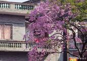 今日大寒,南国广州红花风铃木却已悄然盛开