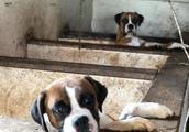 65岁女子住处发现200条小狗 其中130条勉强存活 44条小狗被冻冰箱