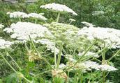 世界上最危险植物,沾上汁液比烧伤还严重,正在美国蔓延!