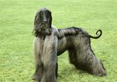 喂养阿富汗猎犬是有讲究的,赶紧来了解一下吧