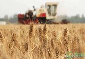 过年前,小麦价格还会上涨吗?今日全国小麦价格最新行情