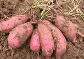 春节将至,红薯怎么卖?怎么保存不易腐烂?看看这些方法……