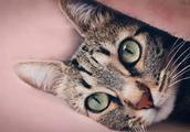 为什么在国外被追捧的中国狸花猫,在中国却很少有人喜欢?