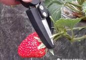 草莓采收、贮藏黑科技!