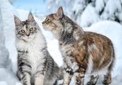 雪地里的缅因猫们,这画面实在太美