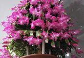 """蟹爪兰长寿花,浇1种过期""""药片水"""",延长花期,花朵更鲜艳"""