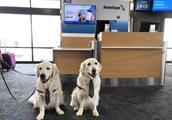 金毛兄弟成为机场员工,负责安抚乘客情绪,从此机场投诉减少三成