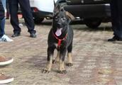 中国第一只克隆警犬,原型战功赫赫,是只国产昆明犬