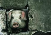 汶川地震猪坚强现状:80岁高龄住一室一厅房,克隆后代一万一只
