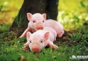 春季猪养不好?点进来看看老兽医教你怎么样