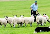 狗狗每天帮主人放羊,任劳任怨,主人:给多少钱都不卖