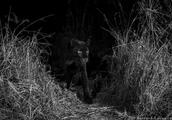 就在《黑豹》拿到小金人前,真正的黑豹在肯尼亚被发现了!