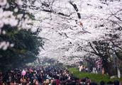 1分钟教你如何免费预约武大樱花节,认领你的樱花雨