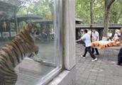 """为何被称为""""森林之王""""的老虎在动物园里却不跑?看完让人怀疑智"""