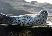 海豹盗窃大案告破,多名嫌犯被捕!100头斑海豹幼崽被盗