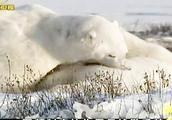 猎杀配额逐渐减少,可在俄罗斯捕杀北极熊仍不受限制