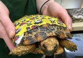 OMG!乌龟竟然被自己的蛋蛋卡住?只能这样取出