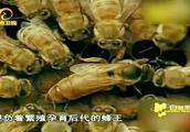 蜜蜂打群架尸横遍野,蜂农出招解决争斗!
