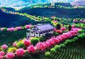 世界最大樱花园在福建!比日本大5倍,是阿里山10倍的美!
