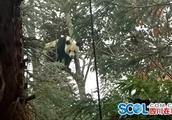 本地丨四川人简直太幽me了!村民偶遇大熊猫全程高能喊话,笑哭