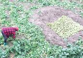 农村静静家窖萝卜了,婆婆挖俩坑忙不停,10岁小强龙越干越起劲
