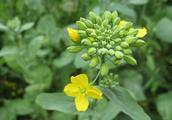 农村一种植物浑身是宝,其花好看又好吃,种子还可榨油
