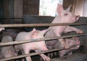 养殖户不用烦恼,母猪便秘不肯吃东西,可以试试这几招