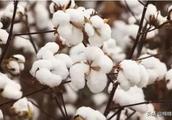 预测:经济下行压力不减,棉价延续低位振荡?