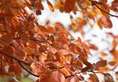 赏秋就来樱花山:漫山飘红 遍地金黄 秋色浸染十里长廊