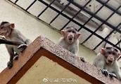 悲剧!印度一婴儿出生仅12天被猴子抢走 致全身受伤后死亡