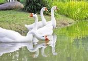"""爱走秀不怕生 中国丝绸博物馆的""""馆宠""""大白鹅红了"""