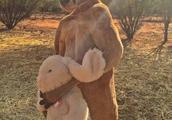 """这只12岁""""高龄""""的网红袋鼠去世了,被称为""""袋鼠界施瓦辛格""""的它拥有数百万粉丝"""