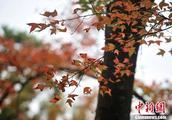广州石门国家森林公园3000亩红叶迎寒生姿