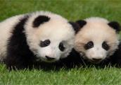 """日本和歌山县白滨町动物园熊猫宝宝取名""""彩滨"""""""