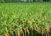 凭借现代化科技的发展,他种植水稻,年收入不菲