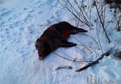非法捕猎野猪拒不承认 猎狗满嘴猪毛暴露违法事实